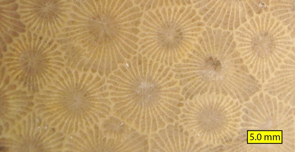 Hexagonaria percarinata close view  - photo by Wilson44691